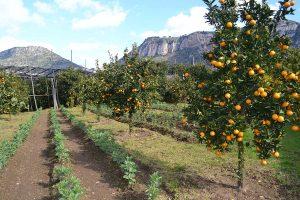Agrumicultura Sorrento